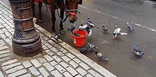 Öğle Yemeğini Güvercinlerle Paylaşan Fayton Atının Muhteşem Anları