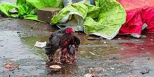 Yavrularını Kanatlarının Altına Alarak Yağmurdan Koruyan Anne Tavuk