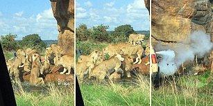 Sürünün Lideri Erkek Aslanı Öldürmeye Çalışan Dişi Aslanlar