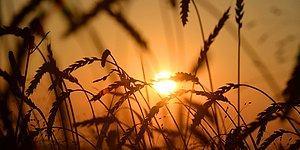 TMO Bir Dizi Uluslararası İhale Açtı: 252 Bin Ton Buğday İthal Edeceğiz