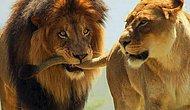Flört Etme Tarzının Hayvanlar Aleminde Hangi Çiftleşme Dansına Denk Düştüğünü Söylüyoruz! 😂