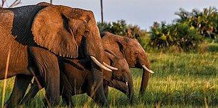 Afrika'da Fildişi Kaçakçılığı Yapan 3 Büyük Kartel DNA Testi Sayesinde Ortaya Çıktı!