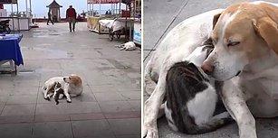 Minnoş Kediye Annelik Yapıp Emziren Sokak Köpeği