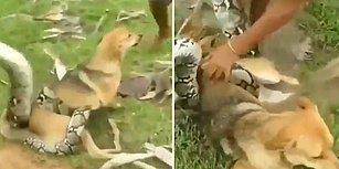 Devasa Yılanın Boğmaya Çalıştığı Köpeği Kurtaran Cesur Çocuklar
