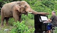 Kötü Koşullarda Travma Yaşamış Filleri Piyano Çalarak Terapi Eden Güzel Yürekli Adam
