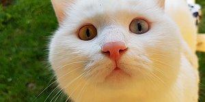 Felçli Kaldıktan Sonra Sahibinin Uyutulmasını İstediği ve Şu Anki Sahibi Tarafından Kurtarılan Bir Kedi: Koca Kafa