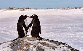 Bir Aşk Hikayesi! Eşcinsel Penguen Çiftin Evlat Edindikleri Yumurta