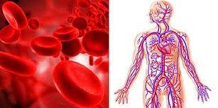 Kan Dolaşım Sistemi Hakkında Muhtemelen Bilmediğiniz 14 Önemli Bilgi
