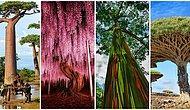 Gezegenimizin Ciğerleri Olmakla Kalmayıp Bizleri Güzelliğiyle Büyüleyen Dünyanın Dört Bir Yanından 15 Ağaç