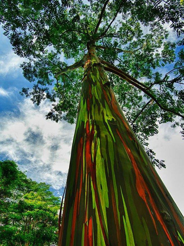 5. Gökkuşağı Okaliptüs Ağacı (Hawai)