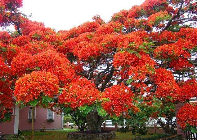 8. Ateş Ağacı (Brezilya)