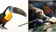 Güzel Şeyler de Oluyor! 22 Yaşındaki Öküzburnu Kuşu, Gagasına Takılan Protez Sayesinde Hayata Tutundu!