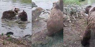 Hayvanat Bahçesinde Bir Araya Gelen Dört Ayı Kurdu Öldürdü!