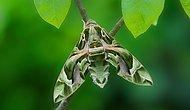 Desenleriyle Sizi Büyüleyecek! İşte Bir Doğa Harikası Olan Mekik Kelebeği