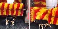 Dokunmasız Otomatik Araç Yıkama Makinesine Bedava Masaj Yaptıran Zeki Köpek