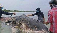 Türleri Yok Etmeye Devam Ediyoruz: Midesinde Yaklaşık 6 Kilo Plastik ile Ölü Bulunan Balina