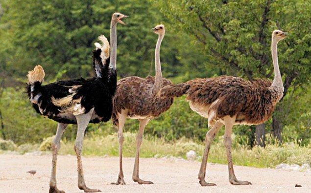 16. Deve kuşları yiyeceklerinin parçalanması ve daha rahat sindirilmesi için taş yerler.
