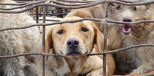 Hayvan Hakları Savunucuları Kazandı: Güney Kore'nin En Büyük Köpek Mezbahası Kapatıldı