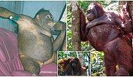 Endonezya'daki Bir Genelevde Seks İşçisi Olarak Çalıştırılan Orangutanın Kurtarılış Hikayesi