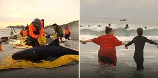 Karaya Vuran Balinaları Hayatta Tutan Güzel İnsanlar