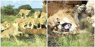 Dişi Aslan Sürüsü Artık Sürüyü Yönetemediğini Düşündükleri İçin Erkek Aslana Saldırdı!