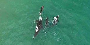 Katil Balinalar İle Birlikte Yüzen Yüzücünün Muhteşem Görüntüleri!