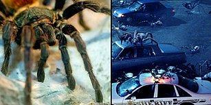 Örümcekler Bir Araya Gelirse Bütün İnsanları Bir Yılda Silip Süpürebilirler!