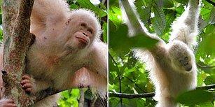 Artık Özgür! Dünyanın İlk Albino Orangutanı Doğaya Salındı