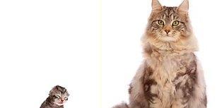 Time Lapse Olarak Maine Coon Cinsi Kedinin Saniyeler İçinde Büyüme Görüntüleri