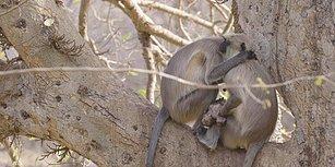Buna Kalp  Dayanmaz! Vefat Eden Yavrusunu Bir Türlü Bırakamayan Anne Maymunun Yürekleri Dağlayan Görüntüleri