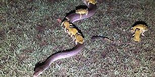 Aşırı Yağışın Ardından Yükselen Göl Suyundan Pitonun Sırtına Binerek Kurtulan Kurbağalar