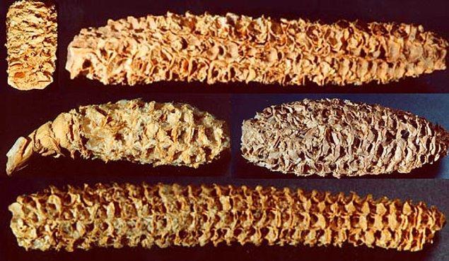 Kanyonda yaşayan Anasaziler; mısır, fasulye ve kabak gibi bitkiler ekiyorlardı.