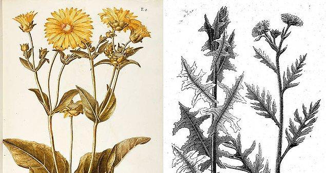 6. Eski Roma'da kadınlar kendileri için doğal bir doğum kontrol yöntemi bulmuşlardı: Silphium. Bu bitki, erkeklerde afrodizyak etkisi yaratmasına rağmen kadınlarda adet döngüsünü bozarak gebeliği engelliyor ya da düşüğe neden oluyordu.