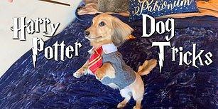 Harry Potter Büyüleriyle Eğitilen Köpeğin Kıskandıran Görüntüleri