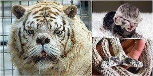 Çift Başlılar, Yapışık İkizler ve  Kaplan Kenny... İşte Dünyanın En Sıra Dışı 10 Hayvanı