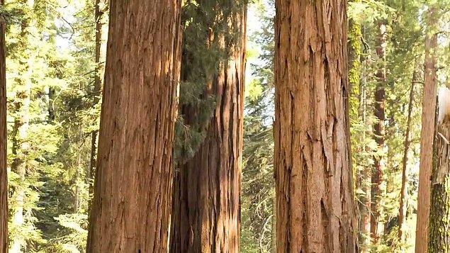 2. Dev Sekoya ağaçlarının bazıları piramitlerden daha yaşlıdır.