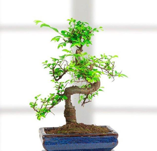 9. Kökleri hep birbirine bağlanan ve yüzyıllarca sürüp gidecek bir aşk mı sizinkisi? O zaman aşkınızı en çok Bonsai Ağacı yansıtacak.