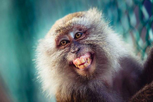 13. Maymunlar bazen dişlerinin arasını temizler.