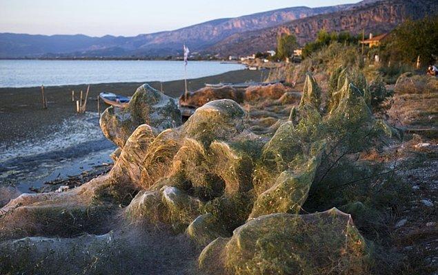 18. Aitoliko, Yunanistan'da dev örümcek ağları, Eylül, 2018.