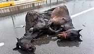 Kamyonet Çarptı: Yaralanan Atların Yürek Burkan Görüntüsü