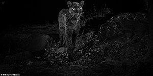 100 Yıl Aradan Sonra İlk Defa Kenya'da Görüldü! Son Derece Ender Bir Tür Olan Siyah Leoparın Muhteşem Fotoğrafları