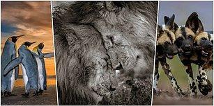 Yılın Vahşi Yaşam Fotoğrafçısı Yarışmasında Halkın Seçimi Ödülünün Sahibi: 'Ormanın Kralları'