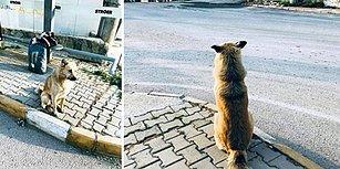 Kendisini Terk Eden Dostlarını 1 Yıldır Dolmuş Durağında Bekleyen 'Can' İsimli Köpek