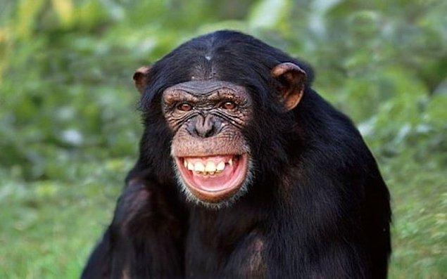 6. Bir şempanze uzun, sabit bir boruya sıkışan fıstığı, ağzında biriktirdiği suyu boruya aktararak çıkarabileceğini fark etmiştir.