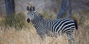 Araştırma Yayınlandı: Zebraların Siyah Beyaz Çizgilerinin Nedeni Sinekler Olabilir!