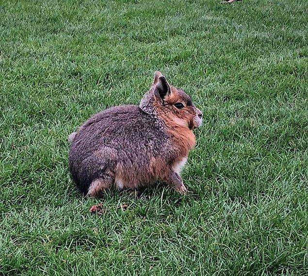 Bunlar bir hayvanat bahçesinde serbestçe dolaşıyordu, bu yüzden onlar hakkında bir işaret/bilgi yoktu. Onlar yabani tavşanlar olduğunu,  dört ayak üzerinde yürüyebildiklerini ve oldukça uzun ön arka bacakları olduğunu düşündüm. Bu nedir?