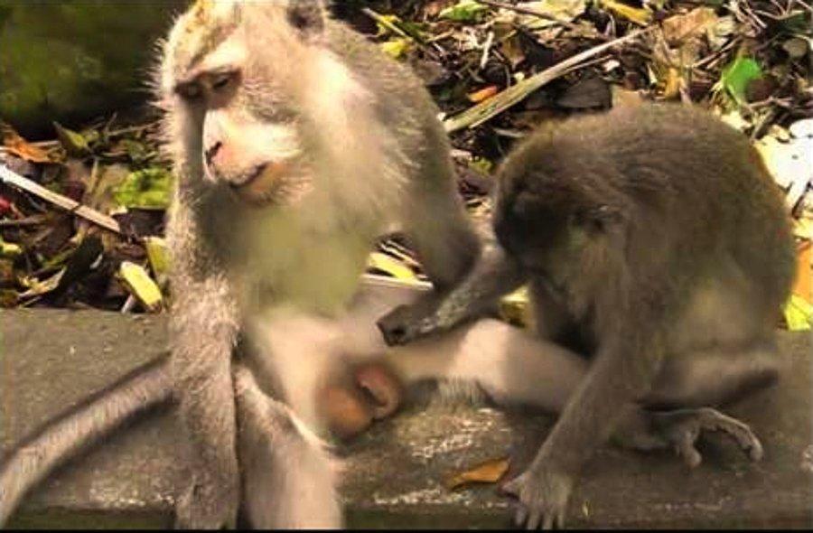 su maymunu nasil dogurur video