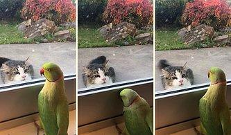 Kediyle Ce Eee Oyunu Oynayan Papağan