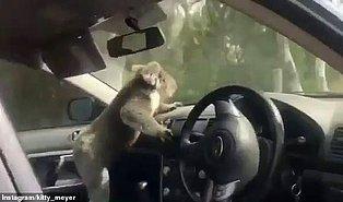 Aşırı Sıcaklardan Kaçıp Klimalı Arabaya Sığınan Koala