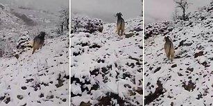 Yavruladıktan Sonra Dağda Bıraktığı Yavrularını İnsan Dostuyla Birlikte Aramaya Koyulan Keçi!